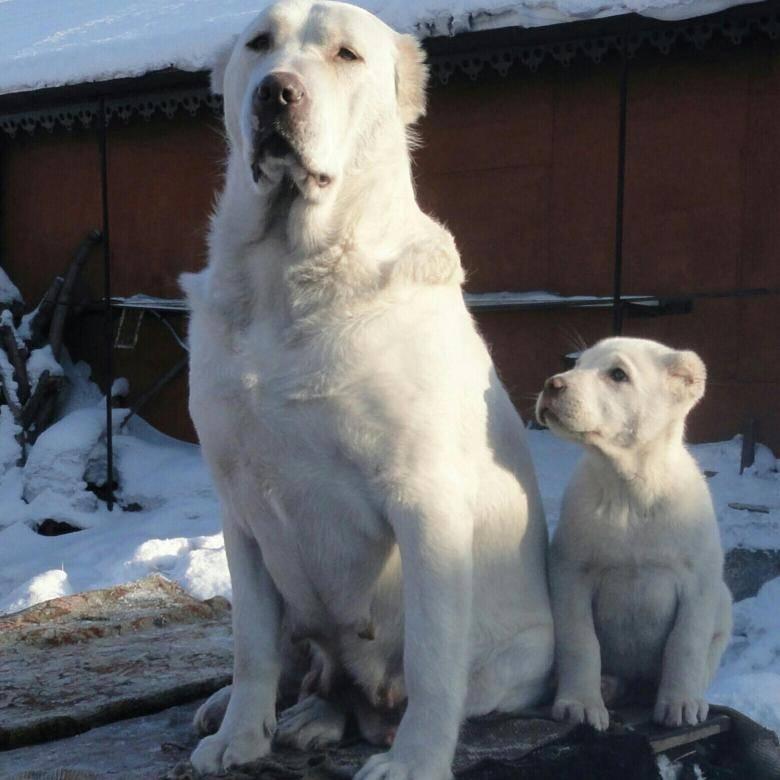 Клички для мальчика-алабая: интересные имена для собак белого цвета и их значение. как назвать щенка среднеазиатской овчарки?