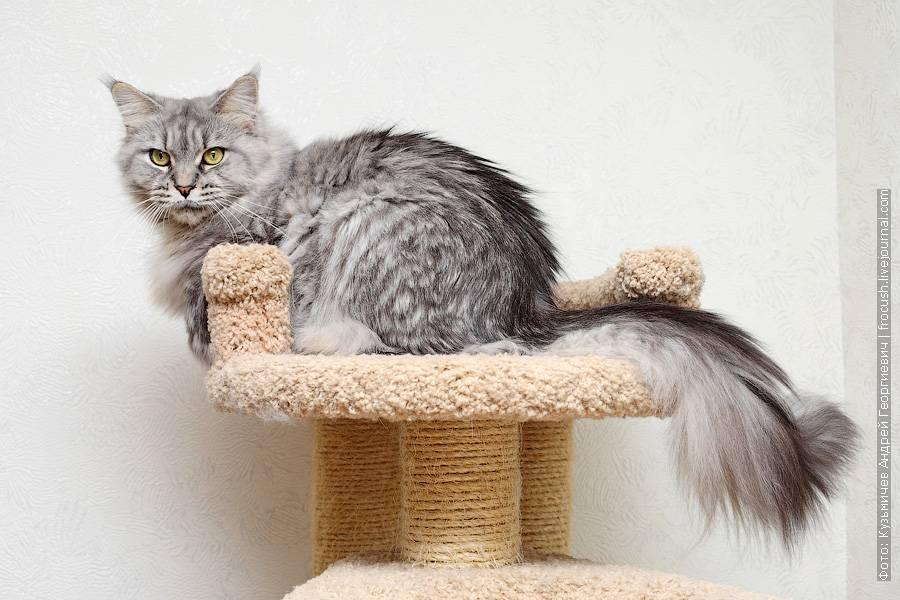 Воспитание мейн-куна: как дрессировать большую кошку (есть видео)