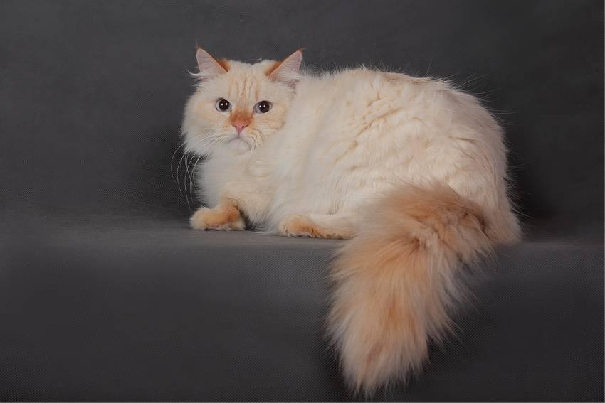 Породы рыжих котов - фото, характеристика и описание - kotiko.ru