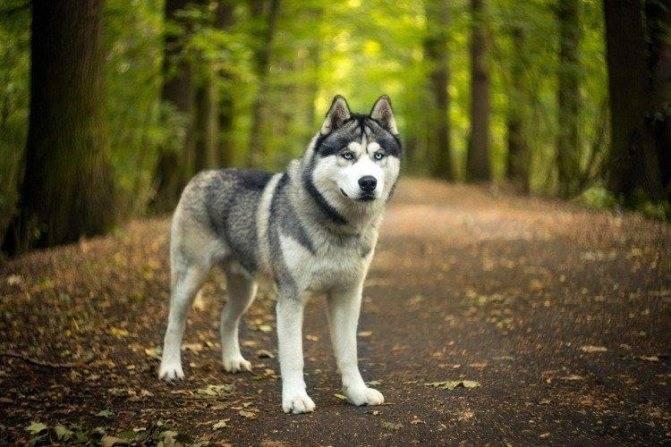 Сибирский хаски – снежный «волк» с дальнего севера