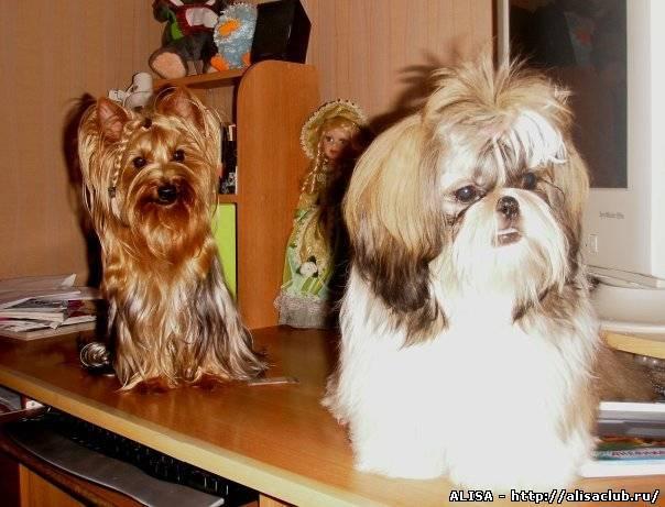 ᐉ 4 метиса чихуахуа: с йорком, шпицем, пекинесом и той терьером, как отличить от породистого щенка от помеси - kcc-zoo.ru
