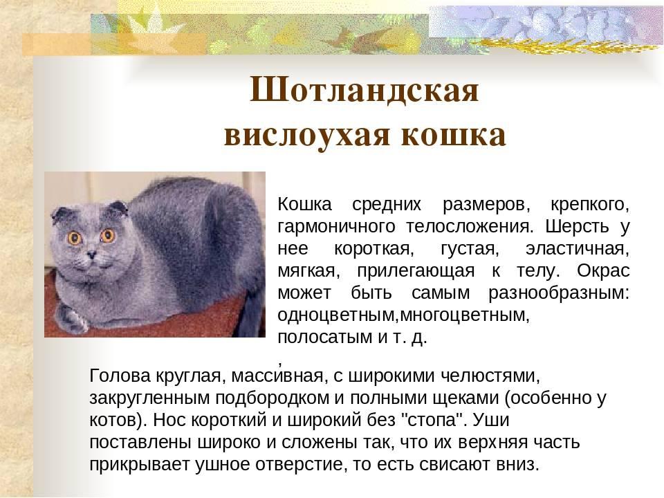 Порода скоттиш-фолд: достоинства вислоухих кошек