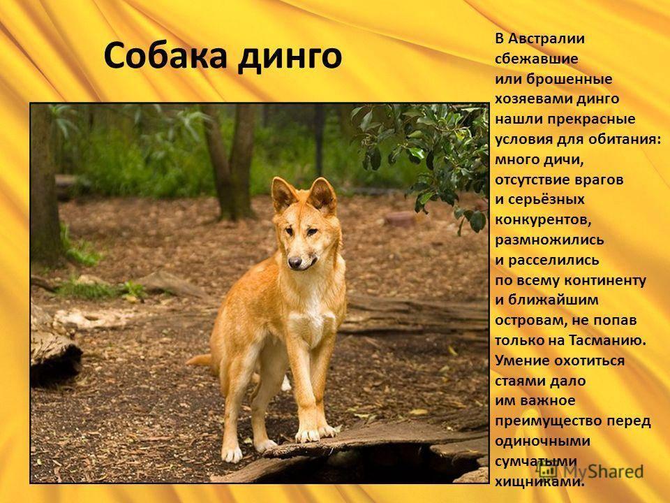 Дикая собака динго — описание запрещенной породы