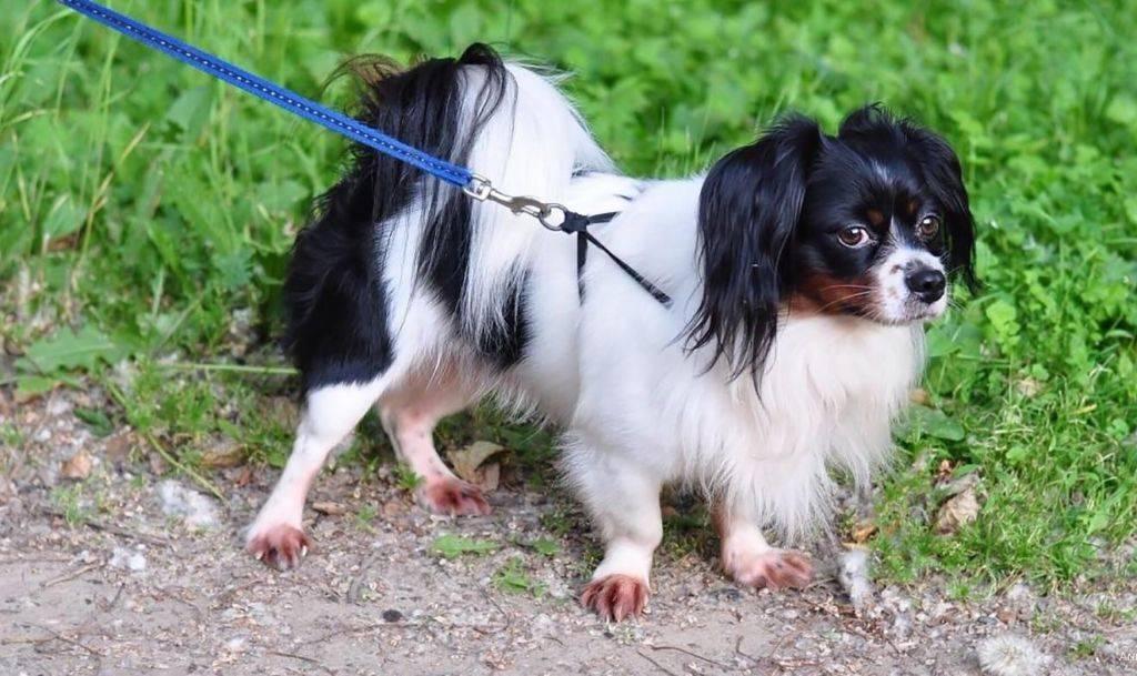 Континентальный той-спаниель: описание породы с фото, характеристика собаки, разновидности