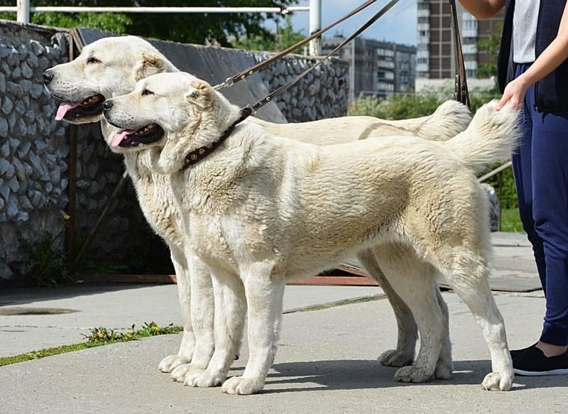 Среднеазиатская овчарка (алабай): описание, характер, особенности ухода и воспитания щенков (140 фото)