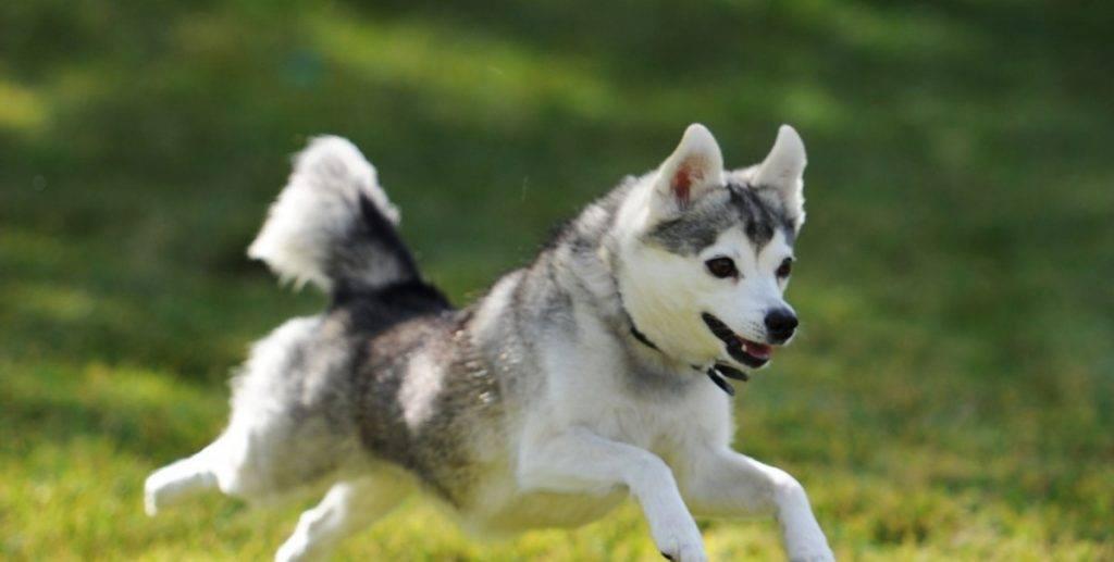 Мини хаски (аляскинский кли-кай): как появилась порода, описание ее особенностей, правила ухода, фото собак и отзывы владельцев