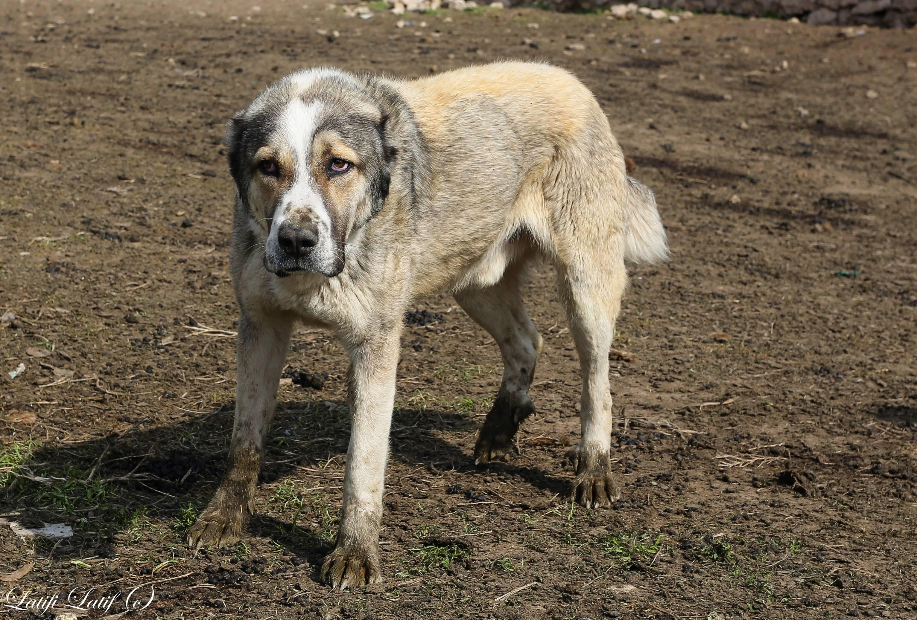 Крупные породы собак. описания, названия, клички и особенности крупных пород собак | живность.ру