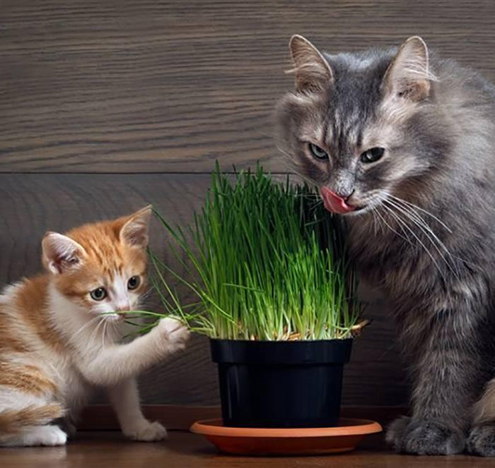 Трава для кошек – назначение и выращивание