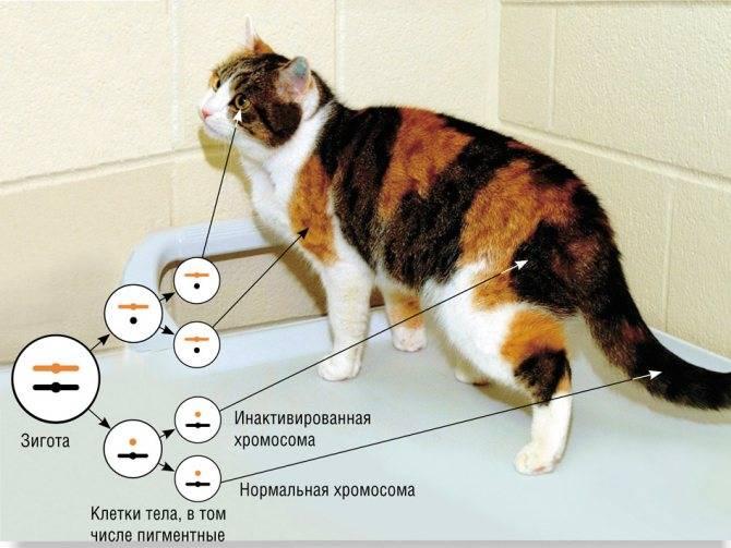 Какое количество хромосом у кошек и какие функции они выполняют
