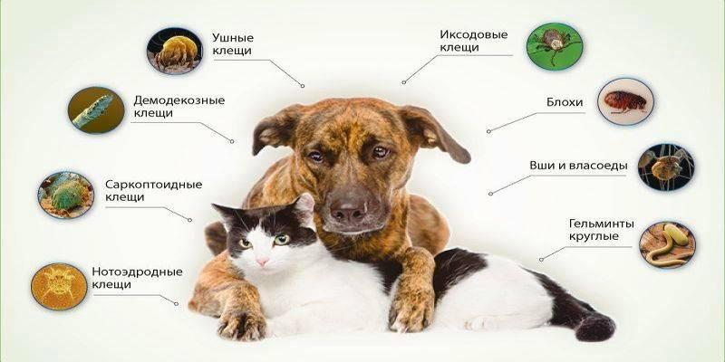 Лечение пироплазмоза собак в домашних условиях
