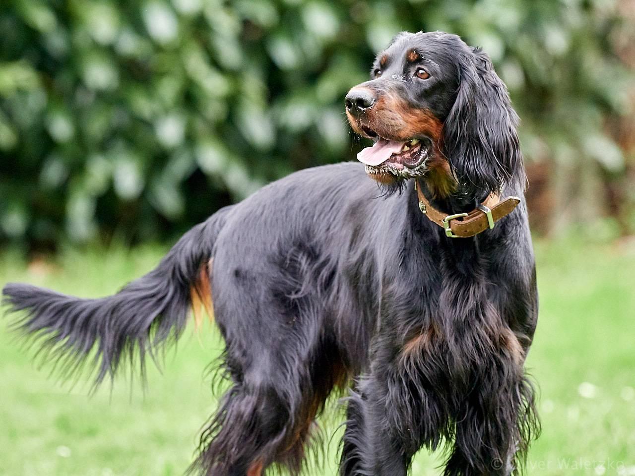 Описание породы собак шотландский сеттер (сеттер-гордон) с отзывами и фото