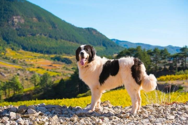 Ландсир описание породы собак — моя собака