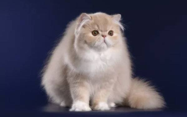 Персидская кошка: описание породы, характер, сколько живут