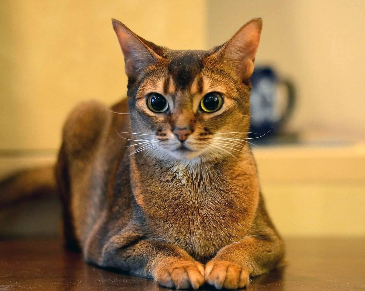 Как характеризуются абиссинские коты: описание породы, цена