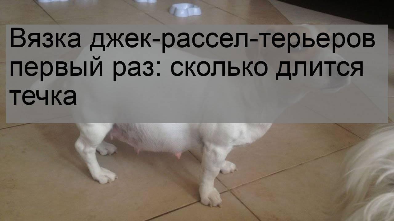 Подробная инструкция для владельцев о вязке собак, видео спаривания