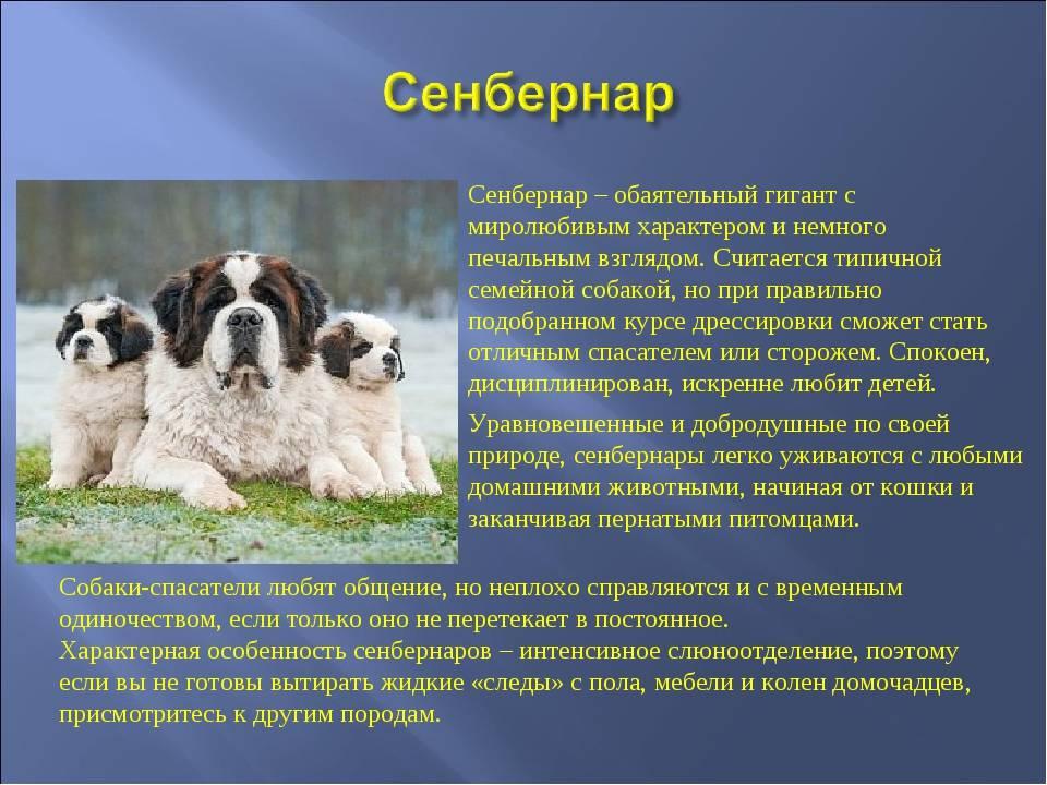Сенбернар: описание породы, фото, характер и стандарт