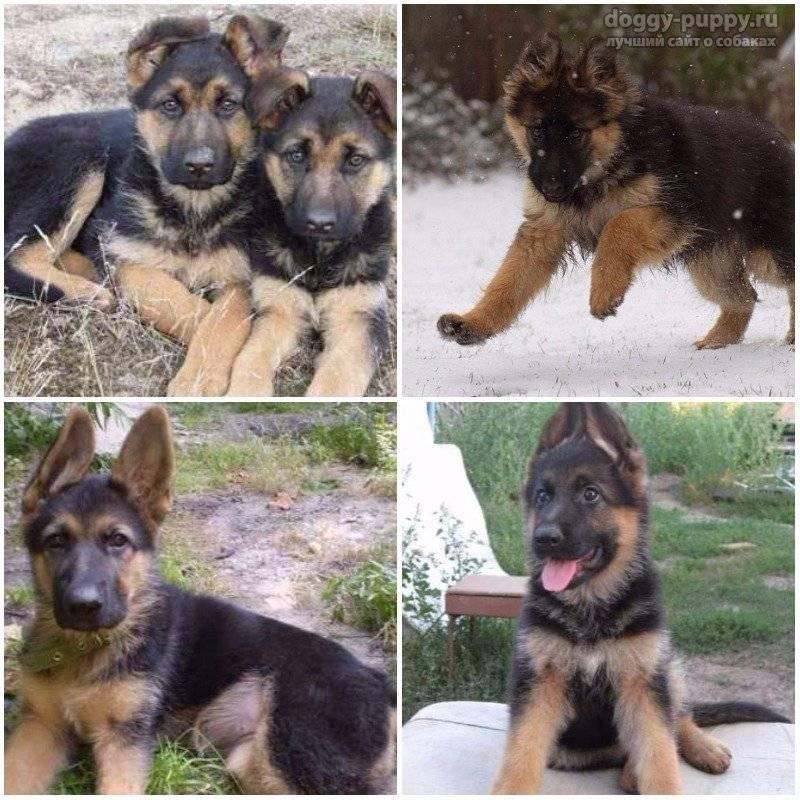 До какого возраста растут собаки немецкой овчарки. рост и развитие щенка немецкой овчарки