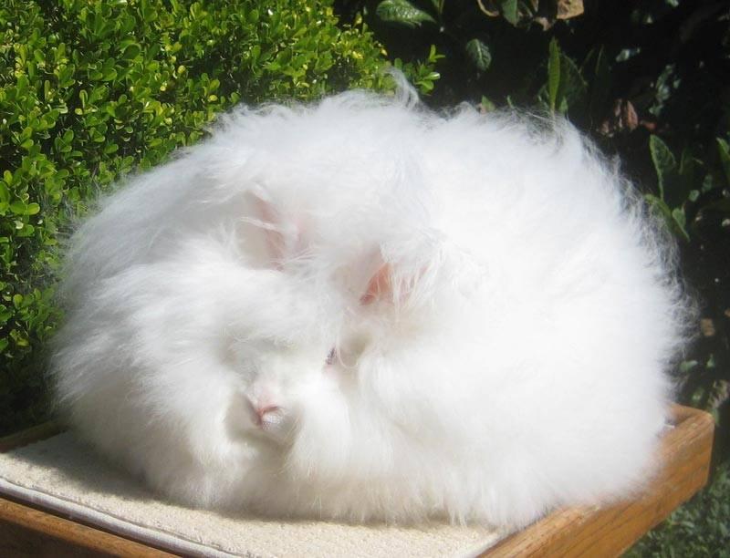 Порода ангорский кролик: история и описание