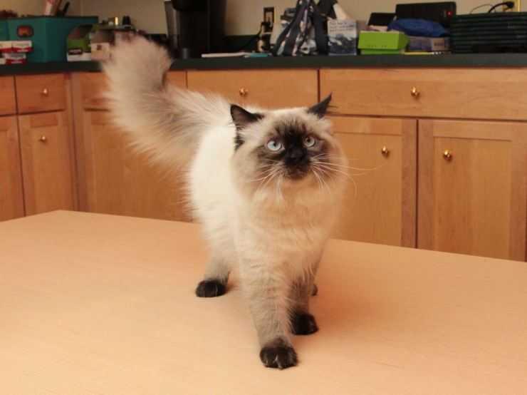 Гималайская кошка: фото, цена, описание породы, характер, видео, питомники