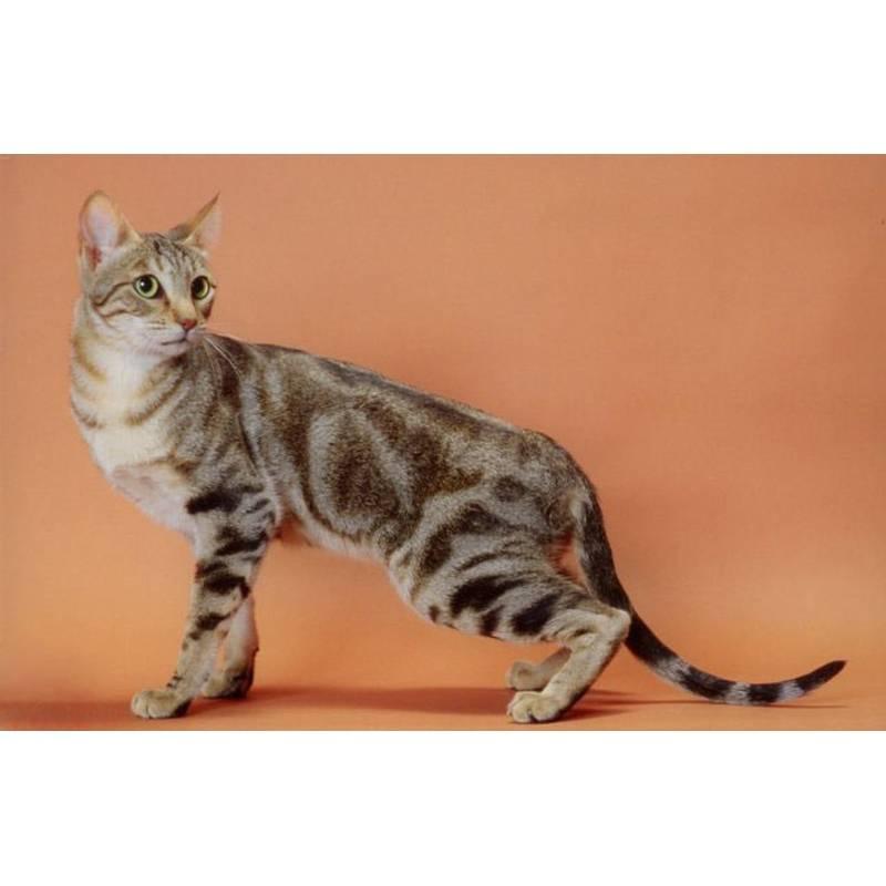Сококе: описание породы кошек, фото и видео материалы, отзывы о породе