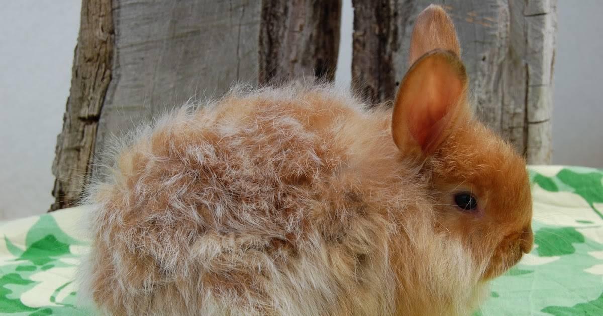 Для чего нужны ангорские кролики