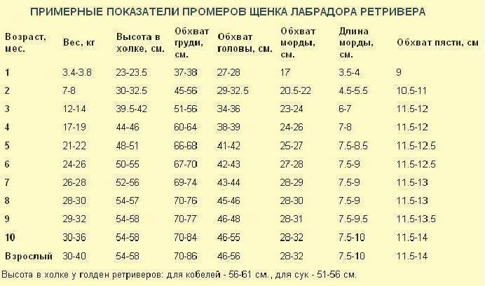 Вес лабрадора: сколько весит взрослая собака? таблица веса щенка по месяцам