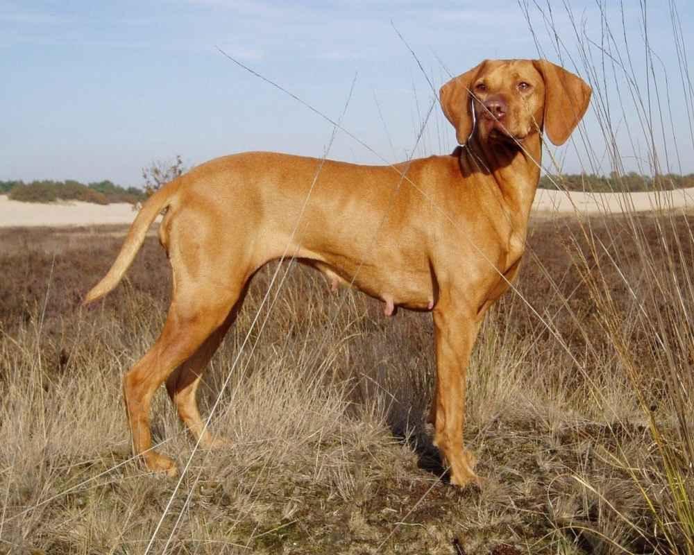 Легавые породы собак с фото и названиями