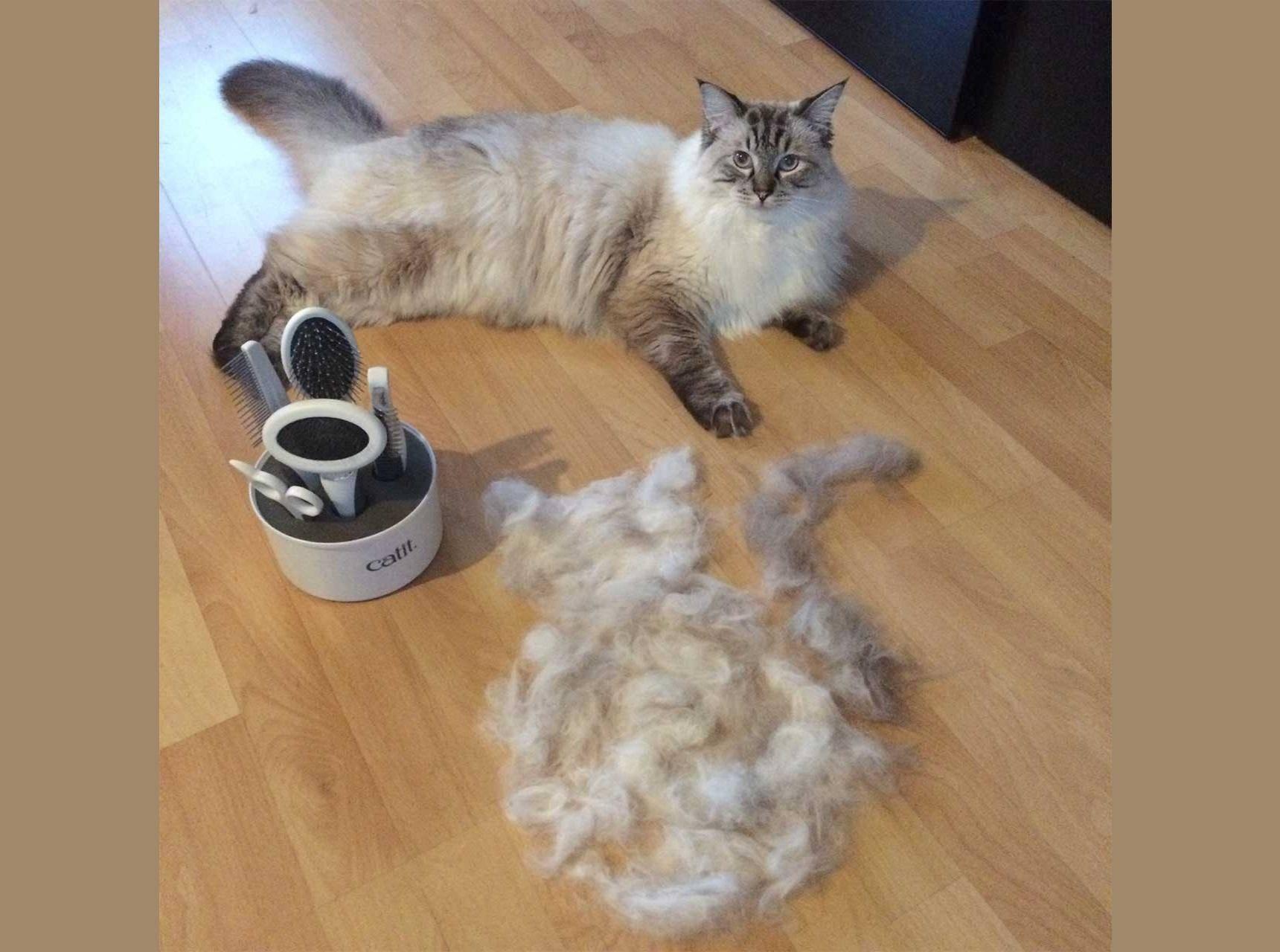 Почему британский кот сильно линяет: причины и способы устранения проблемы