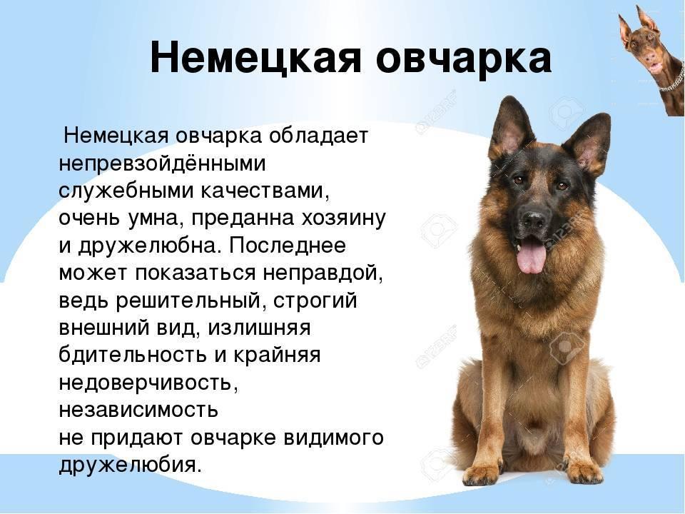 Как правильно выбрать щенка немецкой овчарки: на что обратить внимание, мальчик или девочка, возраст
