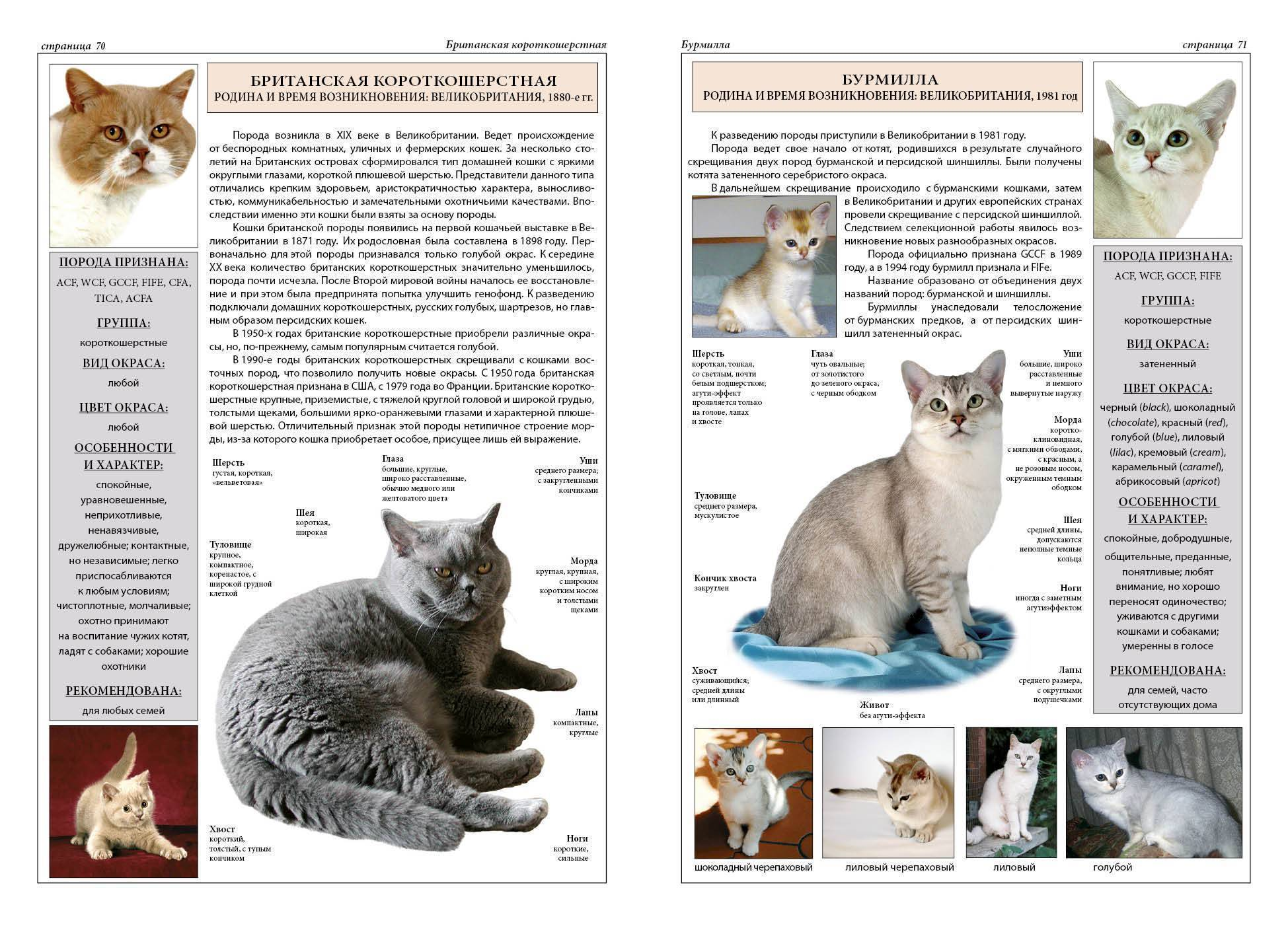 Сибирские кошки (64 фото): описание котов сибирской породы. как выглядят котята и какой у них характер? как выбрать корм для сибиряков? сколько живут кошки?