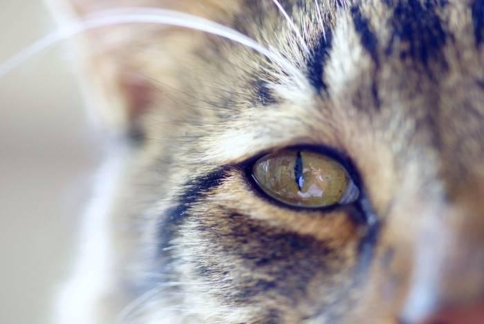 Что делать если у кошки слезиться глаз?