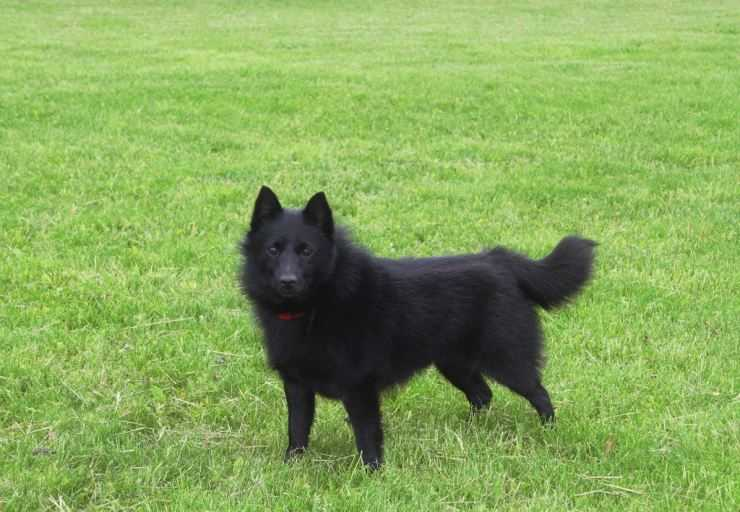 Шипперке (схипперке): описание, фото, характер, уход и содержание породы собак