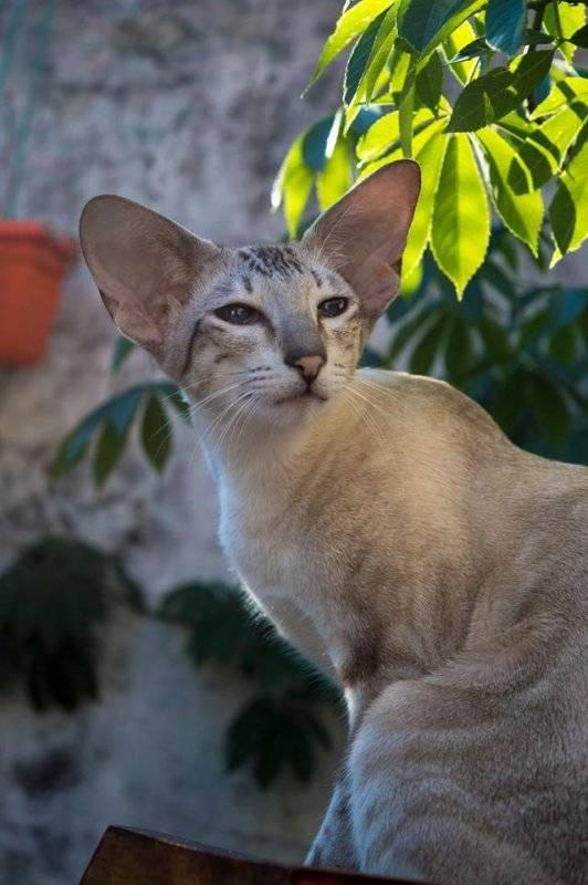 Сейшельская кошка: фото, цена, описание породы, характер, видео, питомники