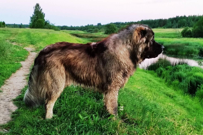 Парад великанов или самые большие представители собачьего семейства