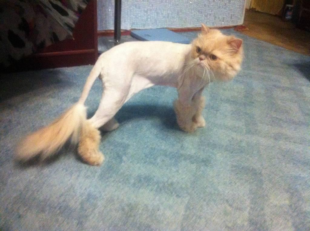 Можно ли стричь кошек: вред и польза проведения процедуры