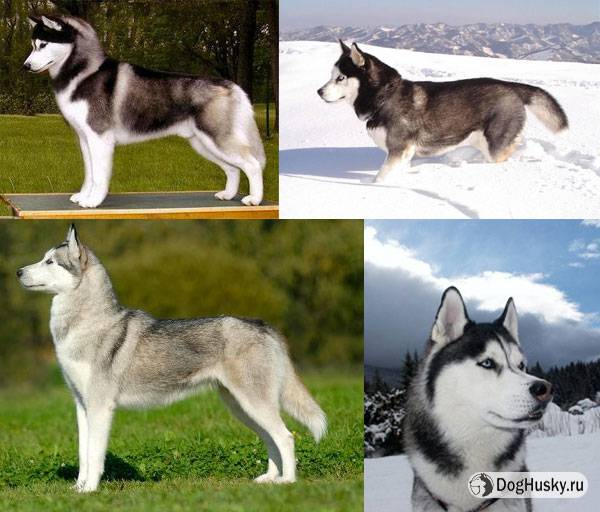 Разница между сибирской хаски и аляскинским маламутом