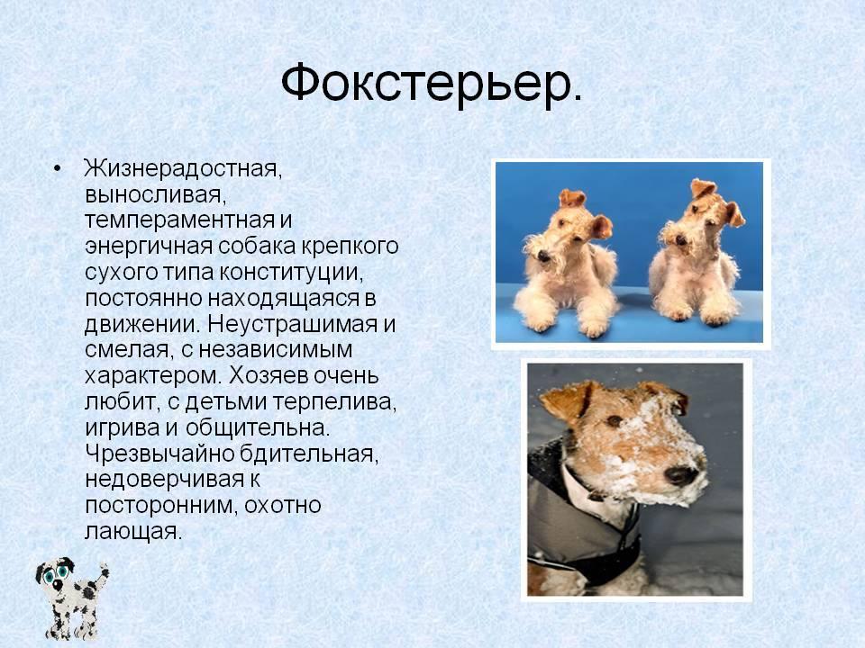 Фокстерьер, описание породы, разновидности, условия содержания, фото