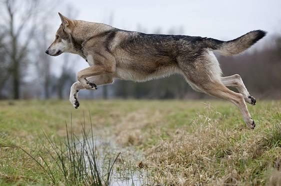 Чехословацкая волчья собака: характеристика породы, особенности воспитания и ухода (80 фото). чехословацкая волчья собака (фото): помесь волка и немецкой овчарки