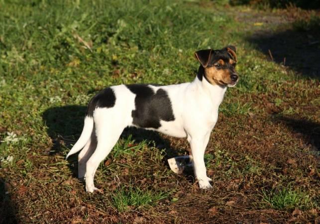 Бигль-харьер: описание породы собак с фото и видео