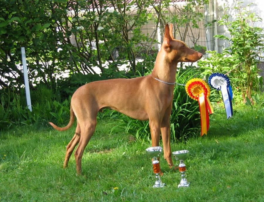 Экслюзивная и редкая порода собак чирнеко дель этна