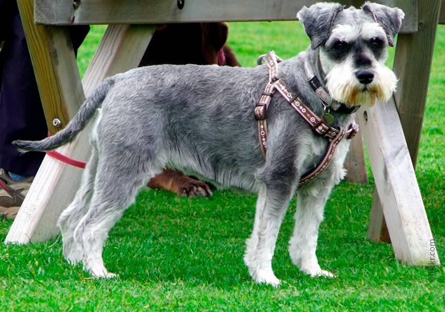 Самые умные породы собак (58 фото): рейтинг преданных и добрых маленьких, средних и больших собак с высоким интеллектом. классификация по стенли корену