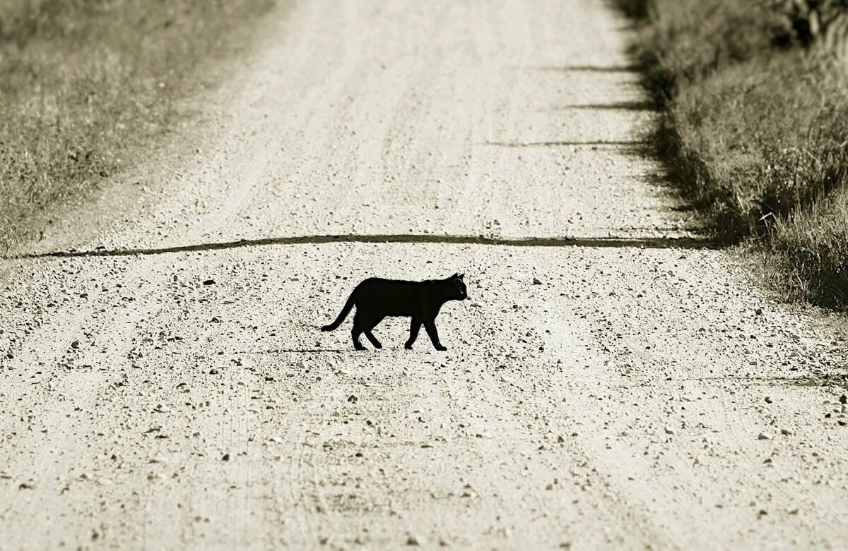 Черная кошка: приметы и суеверия. если черная кошка в доме, перебежала дорогу, приблудилась