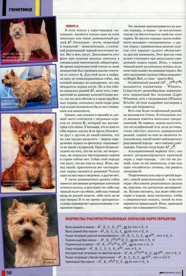 Керн-терьер: фото и описание породы собак, характер кернтерьера и особенности породы