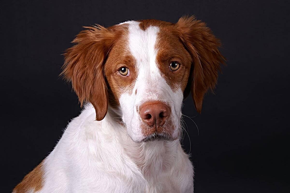 Рейтинг лучших пород охотничьих собак для содержания в квартире на 2021 год