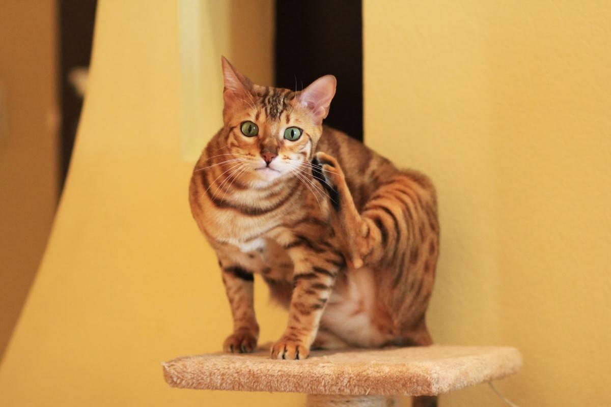 О породе кошек тойгер