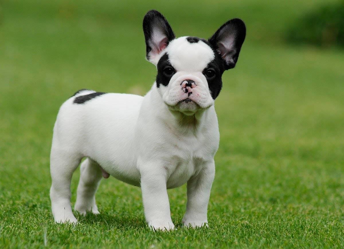 Французский бульдог — описание породы собаки от а до я