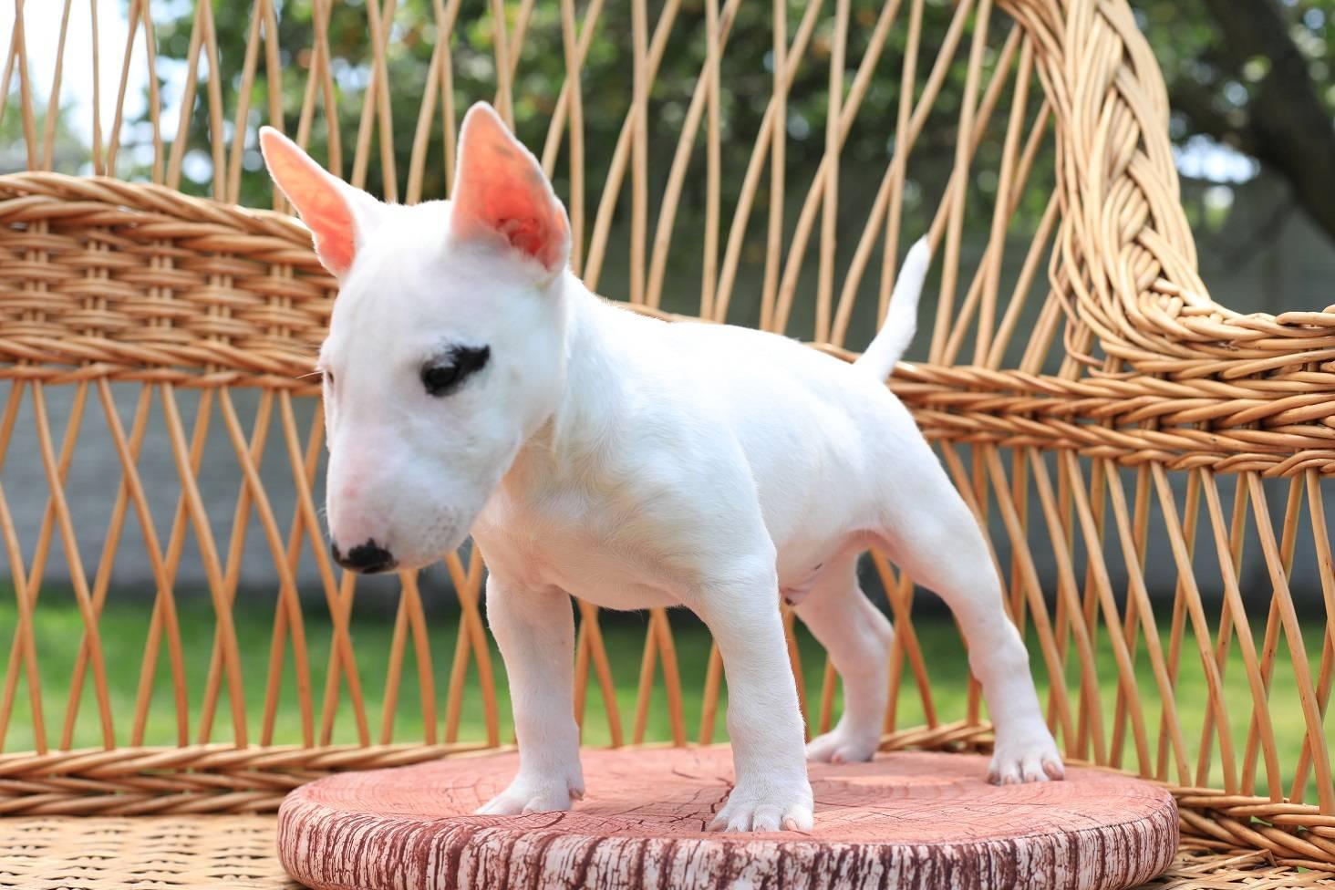 Мини бультерьер — фото, цена | dog-care - журнал про собак