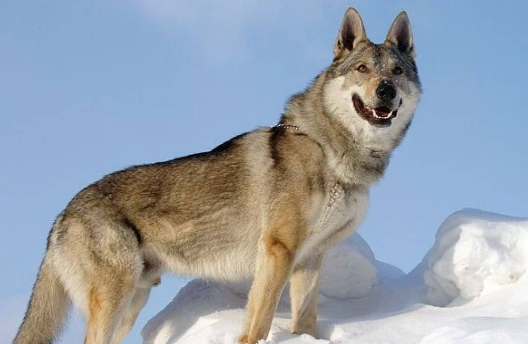 Описание породы чехословацкая волчья собака (чехословацкий влчак) с отзывами владельцев и фото