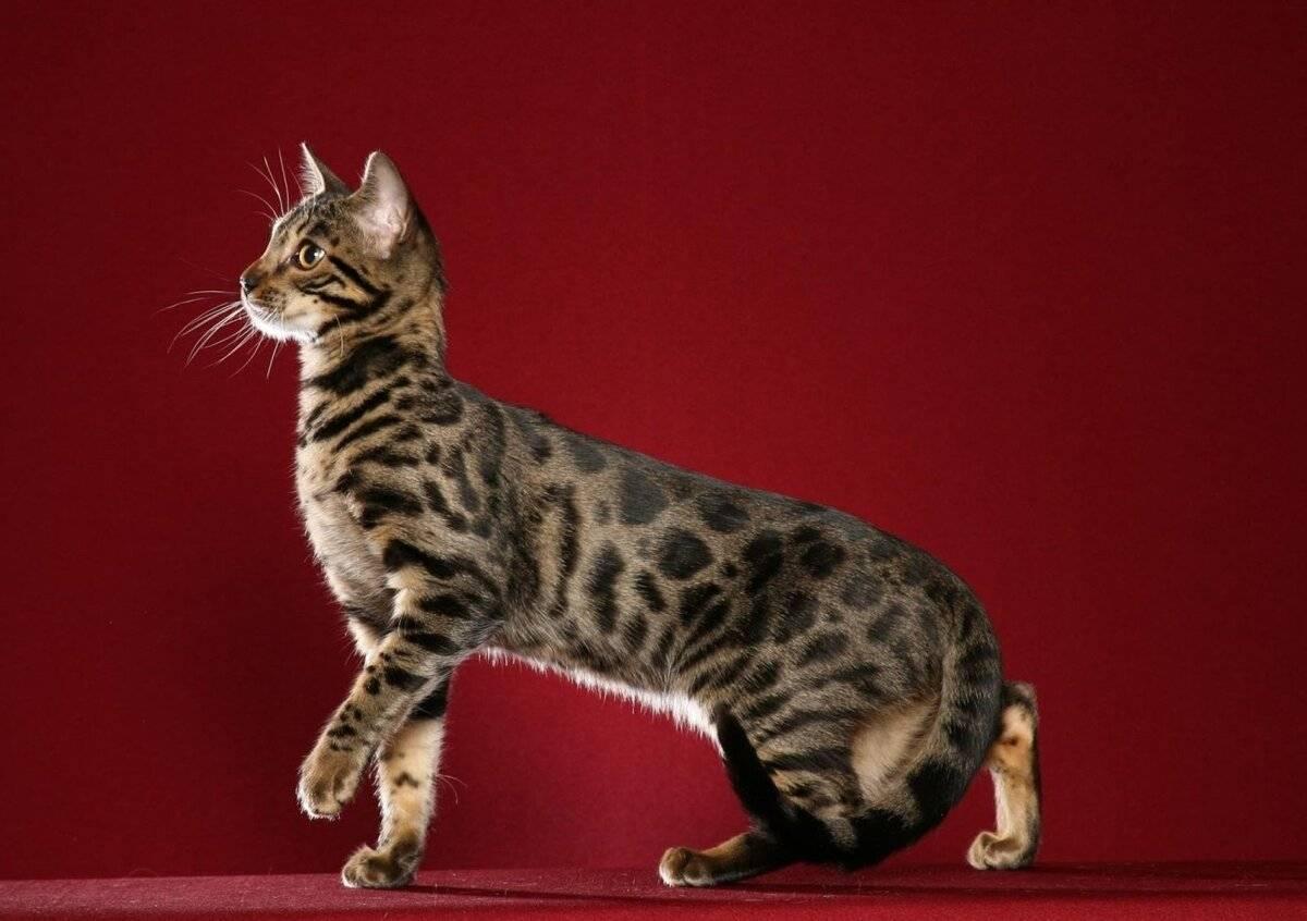 Окрас табби: виды, стандарты и особенности, породы кошек с описанием, фото