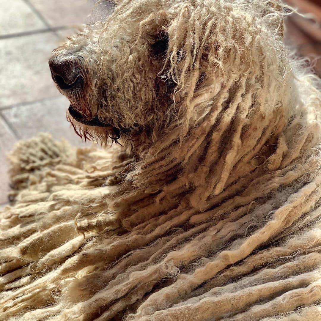 Собаки с волосами вместо шерсти